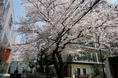 ブラジル大使館 桜