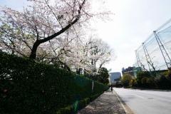 神宮外苑 桜