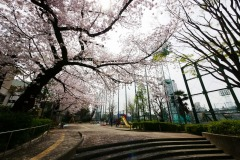 区立青山公園 桜
