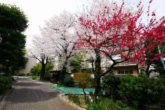 青山団地 桜