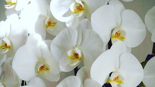 胡蝶蘭(Phalaenopsis orchid) 出典:https://www.aninkagama.com/service/#service01
